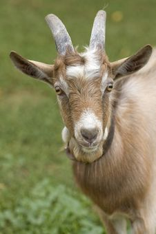 Free Portrait Of A Goat. Royalty Free Stock Image - 23235816