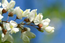 Free White Acacia Background Stock Images - 23236074