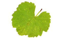 Free Grape Leaf Royalty Free Stock Photo - 23236245