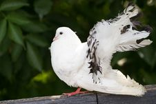 Free White Dove Royalty Free Stock Photos - 23236248