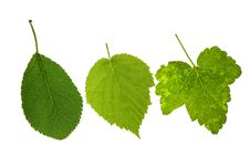 Leaves On Isolated Royalty Free Stock Images