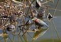 Free Heron Royalty Free Stock Images - 23247459