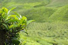Highland Resort Tea Plantation Royalty Free Stock Photos
