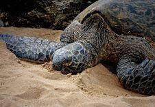 Free Sea Turtle On The Beach Royalty Free Stock Photography - 23245327