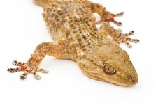 Free Gecko Stock Photography - 23246462