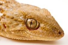 Free Gecko Royalty Free Stock Photo - 23246515