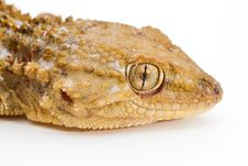 Free Gecko Royalty Free Stock Images - 23246549
