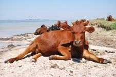 Free Cow On A Beach Royalty Free Stock Image - 23247276