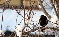 A Blackbird On A Snowy Branch