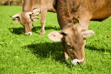 Free Cows In Alps Royalty Free Stock Photos - 23251998