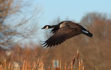 Canada Goose Branta Canadensis In Flight Royalty Free Stock Photos