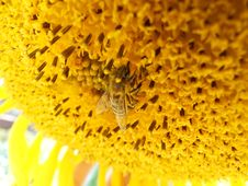 Free Bee On A Sunflower Royalty Free Stock Images - 23260059