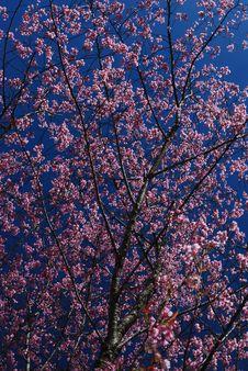 Free Prunus Royalty Free Stock Photography - 23261637