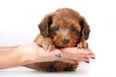Free Small Red Puppy On Hands Stock Images - 23264964