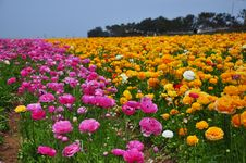 Ranunculus Field Royalty Free Stock Images