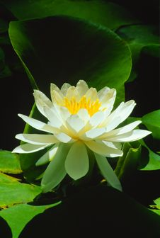 Free Sunlight On White Water Lily &x28;Nymphaeaceae Alba&x29; Stock Photo - 23272310