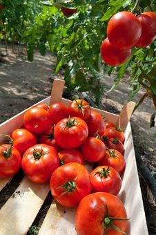 Picking Tomatoes Royalty Free Stock Photos
