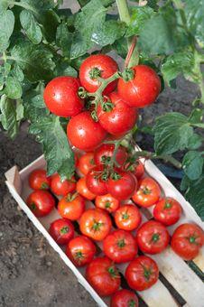Picking Tomatoes Royalty Free Stock Image