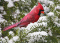 Free Cardinal On Snowy Branch Stock Images - 23286684