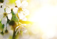 Background With A Blossoming Branch Royalty Free Stock Image