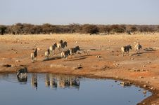 Free Herd Of Burchell Zebras In Etosha Wildpark Stock Photos - 23286403