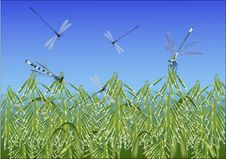 Free Dragonflies Above Oat Field Stock Image - 23288381