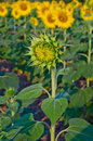 Free Young Sunflower In Farm Royalty Free Stock Photos - 23299068