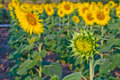 Free Young Sunflower In Farm Stock Image - 23299101