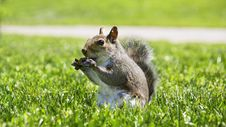 Free Squirrel Stock Image - 23291021