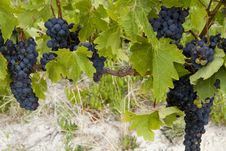 Free Clusters Of Ripe Red Grapes Ready For Harvest Royalty Free Stock Photography - 23291267