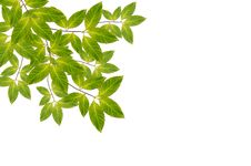 Free Branch With Fresh Green Leaves Stock Photography - 23292622