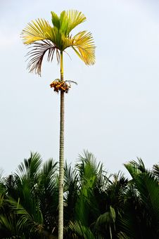 Betel Palm In Thailand Stock Image