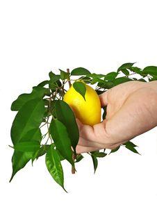 Free Yellow Ripe Juicy Lemon Royalty Free Stock Photography - 23294187