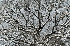 Free Snowy Branches Royalty Free Stock Photos - 23296728