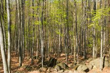 Free Spring Forest Royalty Free Stock Image - 23297486