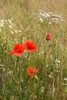 Free Poppies In A Field Royalty Free Stock Photo - 23297945