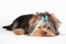 Free Yorkie Puppy Royalty Free Stock Images - 23299309