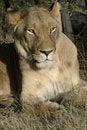 Free Sleepy Lioness. Stock Photo - 2330760