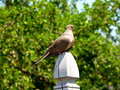 Free Mourning Dove Royalty Free Stock Photo - 2334515