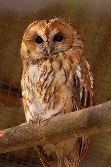 Free Owl 233 Royalty Free Stock Photos - 2330078