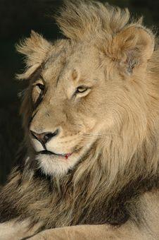 Free Magnificent Male Lion. Royalty Free Stock Photo - 2330705