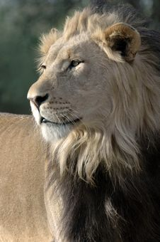 Free Magnificent Male Lion. Stock Image - 2330761