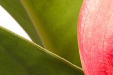 Free Anthurium 4 Royalty Free Stock Images - 2330819