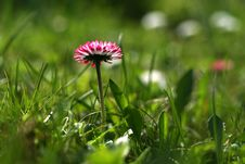 Free Daisy On A Green Background Royalty Free Stock Image - 2331416