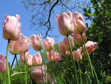 Free Spring Tulips Pink Appeldorn Stock Photos - 2333073