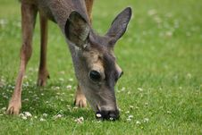 Free A Doe Nibbles The Flowers Stock Image - 2333151