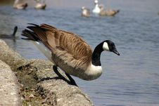 Free Canada Goose Royalty Free Stock Photos - 2333158