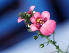 Free Pink Blossom Stock Photos - 2333313