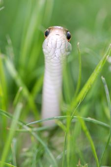 Free Snake Reptile Royalty Free Stock Photography - 2334347