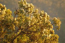 Flowering Gum Tree Stock Image